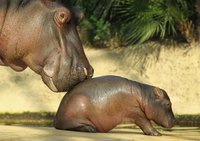 Baby hippo at the Berlin Zoo