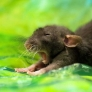 Baby mouse yawns