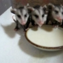 Baby opossums eating