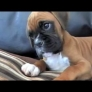 Confused Boxer puppy