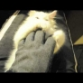 Kitten falls asleep while playing with glove