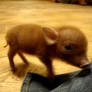 Miniature pig playing around
