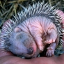 Sleeping baby hedgehog
