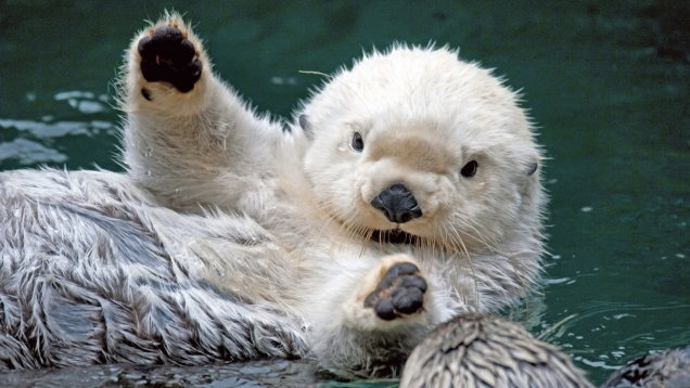 White otter says hi