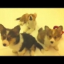 Confused Corgi puppies