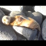 Cute baby sea lion is sunbathing on the rocks