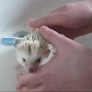 Hedgehog takes a bath