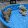 Puppies in a kiddie pool