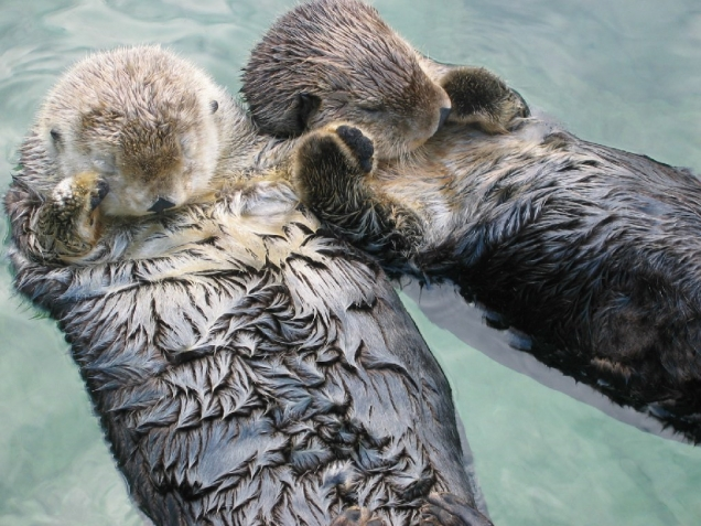 Sea Otters Holding Hands Teh Cute Cute Puppies Cute Kittens