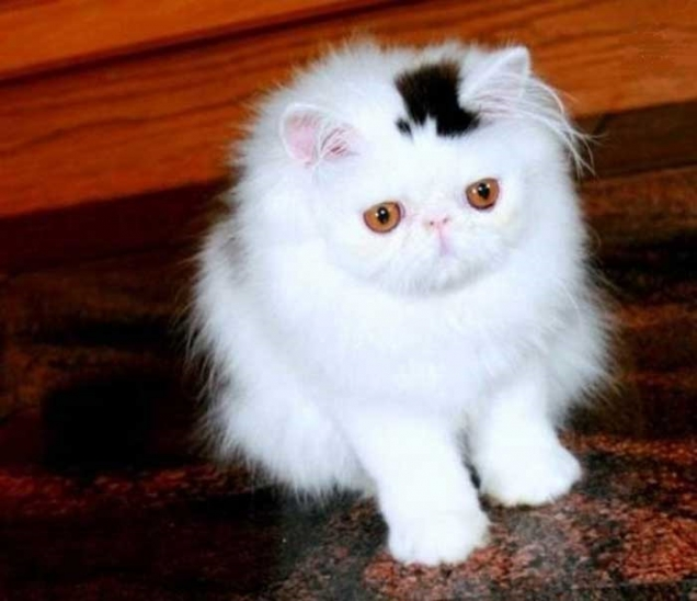 Top hat kitten