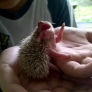 Licking baby hedgehog