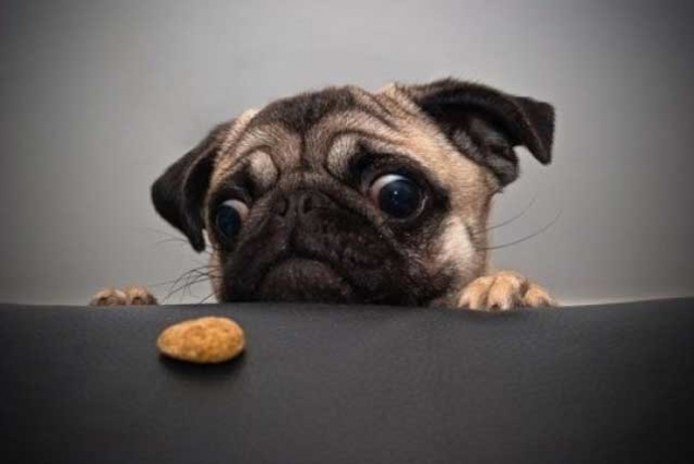Pug-wants-cookie.jpg