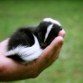 Baby skunk is sleeping