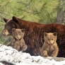 Bear cubs and mom