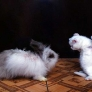 Bunny vs. kitten