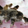 Cat adopts chicks
