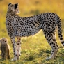 Cheetah and son