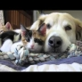 Dog falls asleep with kittens