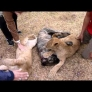Dog gets attacked by lion cubs
