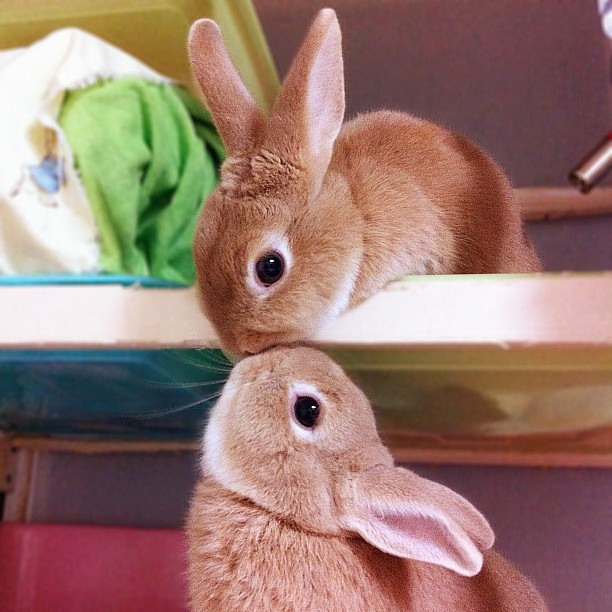 Kissing bunnies - Teh Cute