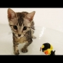 Kitten plays in bath tub