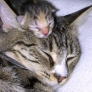 Kitten sleeps with mom