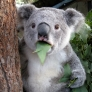 Koala bear is astonished