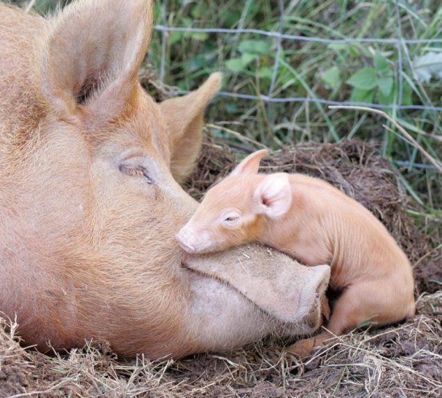 Are pigs cute? Baby-pig-and-mama-pig