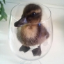 A duck in a glass