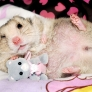 Hamster with toy