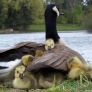 Mother goose and babes