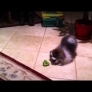 Pomeranian puppy vs. broccoli