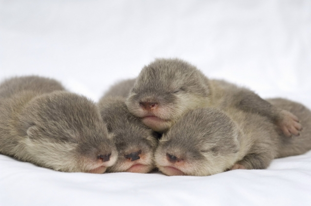 Sleeping baby otters