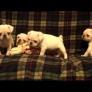 White pug puppies