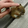 Baby squirrel is eating