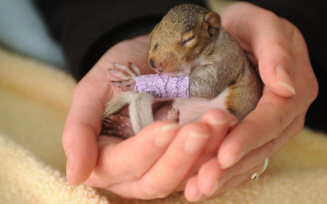 Baby squirrel with injured leg