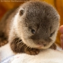 Cute baby otter is looking at you