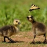Goslings vs. butterfly