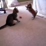 Kitten vs. Chihuahua puppy