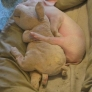 Piglet sleeps with plush friend