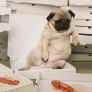 Pug is tired from so much pizza