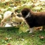 Puppies herding ducklings