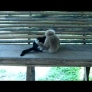 Monkey plays with kitten