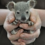 A handful of koala