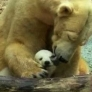 Anuri the baby polar bear