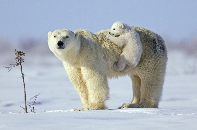 Baby polar bear is hiching a ride on his mom