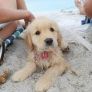 Beach puppy has a stick