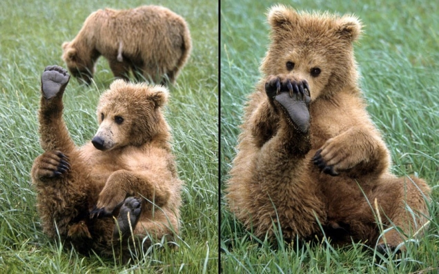 Bear cub plays with foot