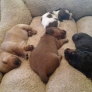 Dachshund puppies sleeping