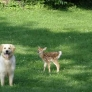 Dog plays with fawn